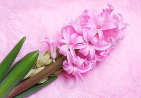 Flowering pink hyacinth on a light background