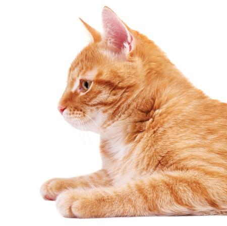 Red cat in profile