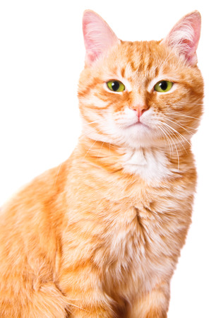 Red cat on a white background, isolated Stock Photo - 24992199
