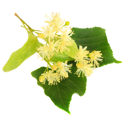 Fresh linden flowers on a white