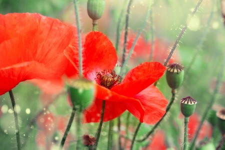 Buds of red poppies on the field photo