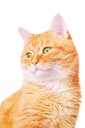 Beautiful red adult cat on a white background