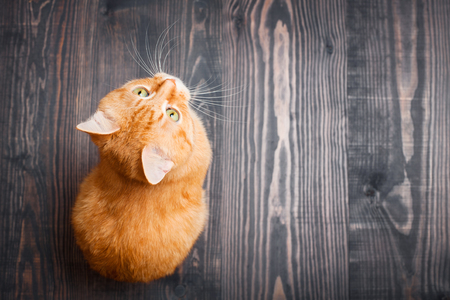 Cat sitting on the wooden floor looking up