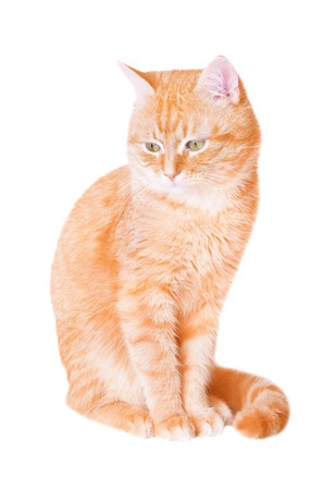 attentively: Red cat attentively looking down, isolated on white