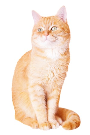 paw smart: Cute red young cat isolated on white background