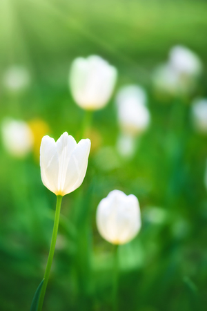 tulips in green grass: White tulips on the background of green grass close-up in sunny summer day. Stock Photo
