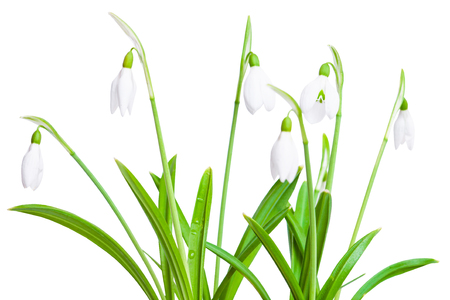 Spring snowdrops flower isolated on a white background Stock Photo