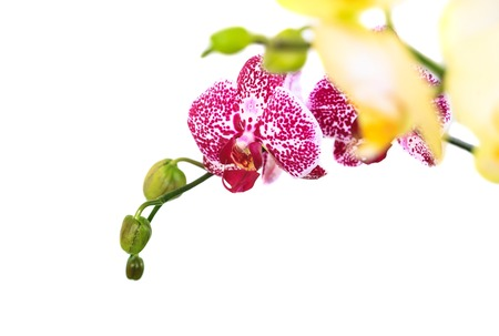 Branch purple and yellow orchid isolated on white background close up. Stock Photo