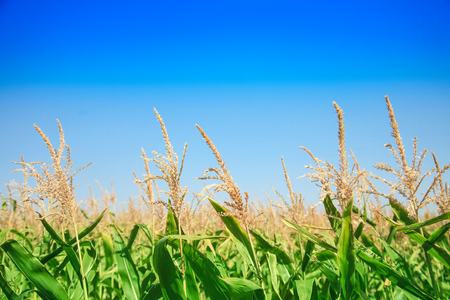 Corn field on a bright sunny day against the blue sky close up. Stock Photo