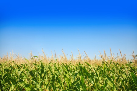 Corn field on a bright sunny day against the blue sky.