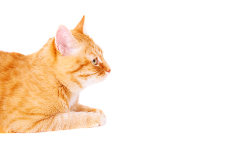 Cute ginger cat lying on the floor. Studio photo, isolated on white background. Stock Photo