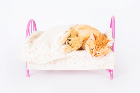 Adult ginger cat lying in bed with little toy bear in studio on white background.