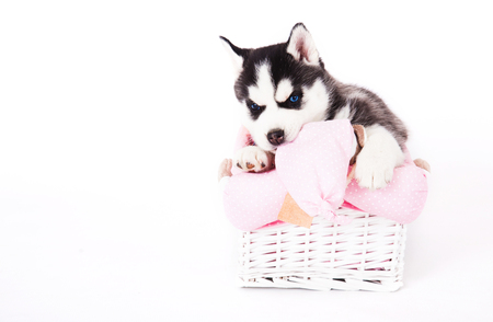 Puppy of an Siberian husky sitting in a basket in the studio on a white background. Copy space for your text. Stock Photo