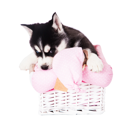 Puppy of a Siberian husky sitting in a basket in the studio, isolated on a white background. Stock Photo