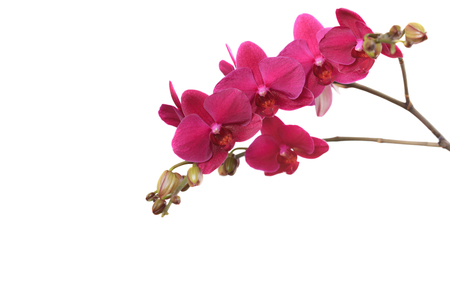 Branch purple orchid isolated on white background close up Stock Photo