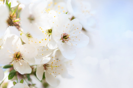 Beautiful white flowers of blossoming apricot tree. Wonderful natural background. Stock Photo