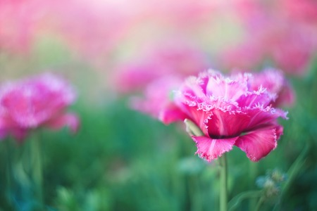 Blooming pink tulips, spring flowers in the garden. Beautiful flowers as floral natural backdrop. Symbol of spring. Bright sunny day.