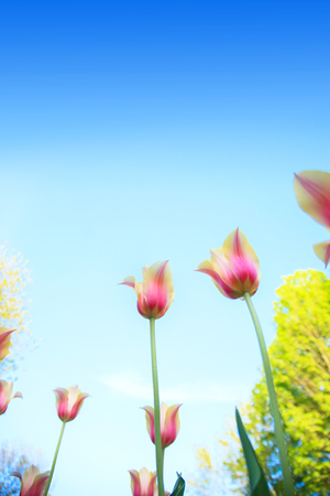 White and pink tulips on the background of blue sky and green grass close-up in sunny summer day. Stock Photo