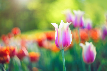 Blooming red and pink tulips, spring flowers in the park, on green background. Beautiful flowers as floral natural backdrop. Symbol of spring. Bright sunny day. Stock Photo