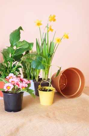 Potted flowers, pots for flowers and tools for the care of plants on the table. Transplantation of plants and care. Stock Photo