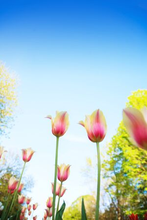 White and pink tulips on the background of blue sky and green grass close-up in sunny summer day. Banco de Imagens