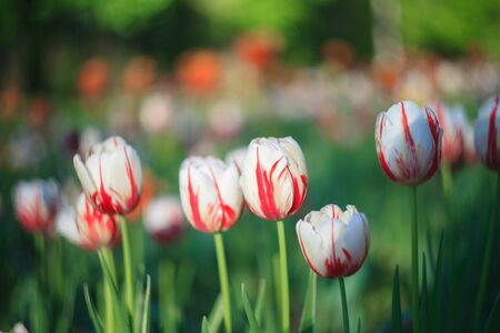 White and purple tulip on the background of green grass close-up in sunny summer day. Banco de Imagens