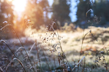 Frost on the grass on a sunny day. Forest landscape, early winter. Banco de Imagens - 155302737