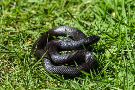 The Mexican black kingsnake (Lampropeltis getula nigrita) is part of the larger colubrid family of snakes, and a subspecies of the common kingsnake. Stock fotó