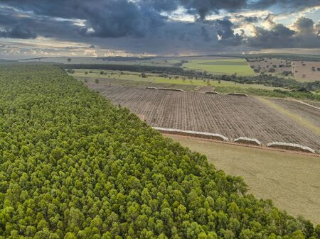 Beautiful eucalyptus plantation and eucalyptus trunks cut to the ground. Banque d'images