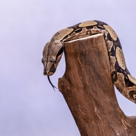 The boa constrictor (Boa constrictor), also called the red-tailed boa or the common boa, is a species of large, non-venomous, heavy-bodied snake that is frequently kept and bred in captivity,