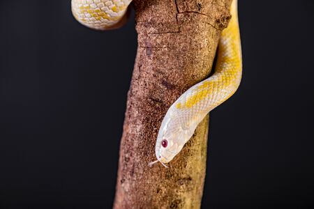 Beautiful hybrid snake, crossing of two species, corn snake and rat snake. 版權商用圖片
