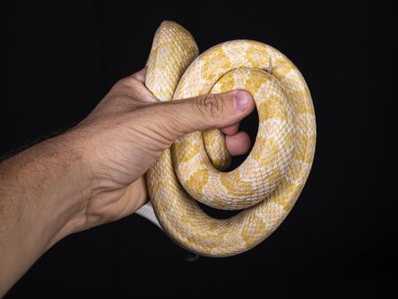 Beautiful hybrid snake, crossing of two species, corn snake and rat snake.