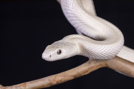 The Texas rat snake (Elaphe obsoleta lindheimeri ) is a subspecies of rat snake, a nonvenomous colubrid found in the United States, primarily within the state of Texas..