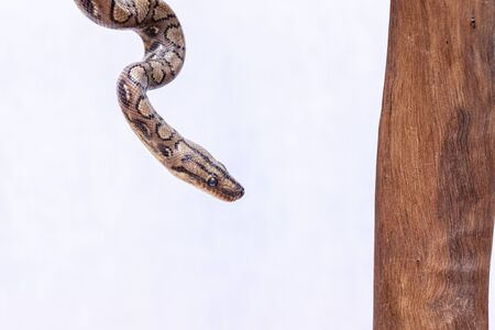 Epicrates cenchria is a boa species endemic to Central and South America. Common names include the rainbow boa, and slender boa. Foto de archivo