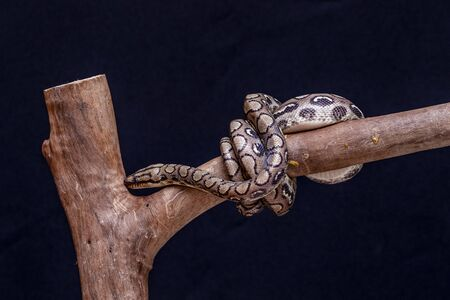 Epicrates cenchria is a boa species endemic to Central and South America. Common names include the rainbow boa, and slender boa.