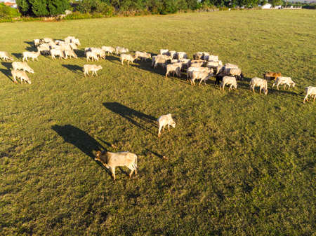 Cattle herd grazing at sunset.