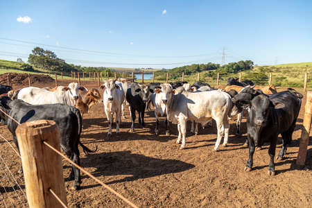 Group of cow in cowshed.