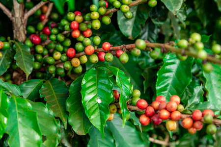 Coffee beans on a branch of tree.Red and green arabica coffee beans ripening on tree in coffeee plantation.