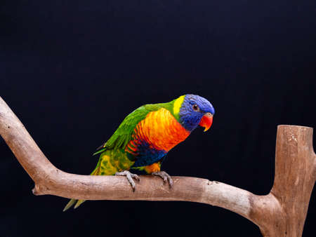 Parrot Trichoglossus moluccanus on wooden perch.
