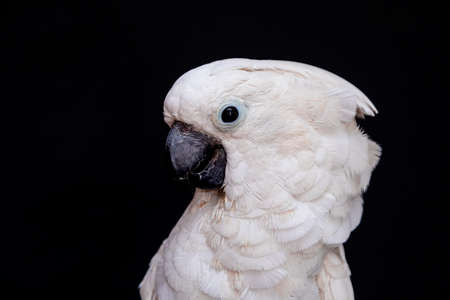 White cockatoo closeup with black background. Stockfoto