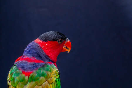 Lory Parrot (Lorius lory) on wooden perch with white background ..