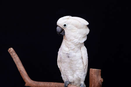 White cockatoo closeup with black background.
