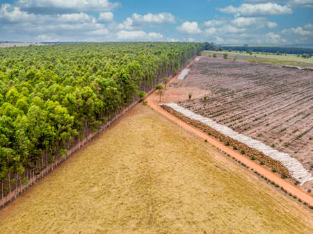 Beautiful eucalyptus plantation and eucalyptus trunks cut to the ground.