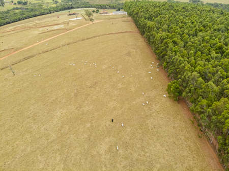 Pasture with cattle beside eucalyptus plantation.