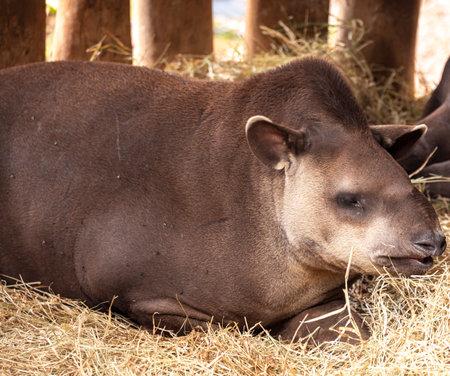 The South American tapir (Tapirus terrestris), also commonly called the Brazilian tapir, in Portuguese anta