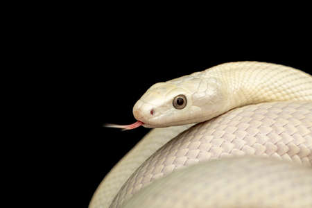 The Texas rat snake (Elaphe obsoleta lindheimeri) is a subspecies of rat snake, a nonvenomous colubrid found in the United States, primarily within the state of Texas