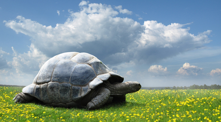 land shell: Turtle on the green grass.