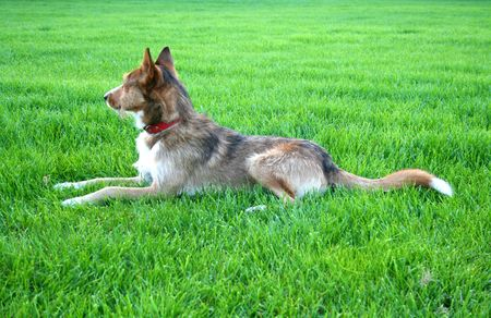 Dog on a green meadow