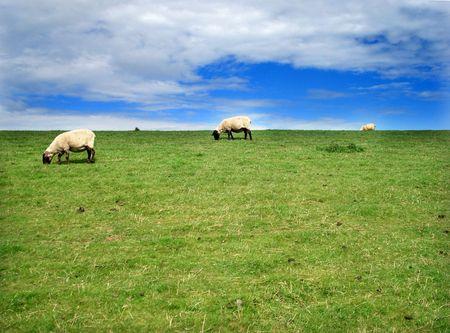 Lambs on a netherland island meadow Stock Photo - 3842946