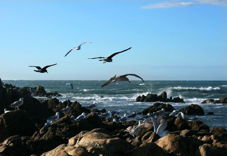 Seagull birds hunting on a rock breach Stock Photo - 3908490